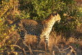 Free Leopard In The Sabi Sands Royalty Free Stock Photo - 5806385