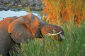 Free African Elephant Feeding Royalty Free Stock Photo - 5806535