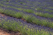 Free Lavender Rows Royalty Free Stock Photography - 5800067