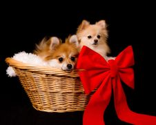 Free Pomeranian Present Royalty Free Stock Images - 5800089