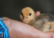 Free Baby Chick Portrait Royalty Free Stock Photos - 5800218