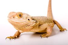 Free Bearded Dragon Royalty Free Stock Images - 5800239