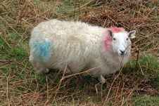 Free Wicklow Mountain Cheviot Sheep Stock Images - 5800924