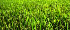 Free Indonesia, Java: Ricefield Royalty Free Stock Photo - 5802305