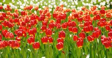 Free Tulips Stock Images - 5802364