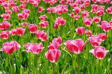 Free Tulips Stock Photo - 5802400