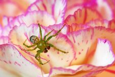 Spider On Flower Royalty Free Stock Photos