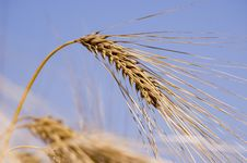 Free Wheat Stock Images - 5803504