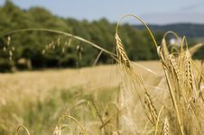 Free Wheat Stock Photo - 5803510