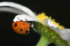 Free Ladybug On Camomile Stock Images - 5803944