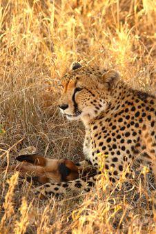 Free Cheetah On A Kill Royalty Free Stock Photography - 5805127