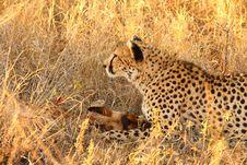 Free Cheetah On A Kill Royalty Free Stock Image - 5805346