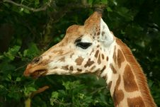 Free Close Up Of A Giraffe Head Royalty Free Stock Images - 5805409