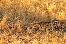 Free Cheetah On A Kill Royalty Free Stock Photo - 5805435