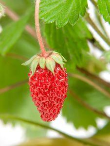 Free Berry Strawberries Royalty Free Stock Photos - 5805458