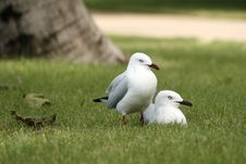 Free Seagulls Royalty Free Stock Photo - 5805625