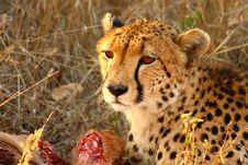 Free Cheetah On A Kill Stock Photography - 5805692