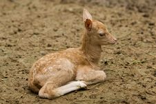 Free Baby Deer Royalty Free Stock Images - 5805959
