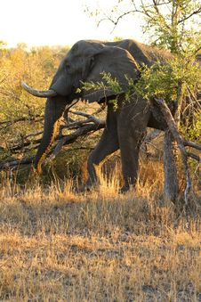 Free Elephant In Sabi Sands Royalty Free Stock Photo - 5805965