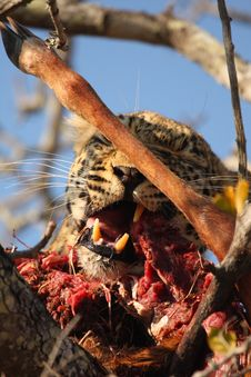 Free Leopard In A Tree With Kill Stock Photos - 5806093