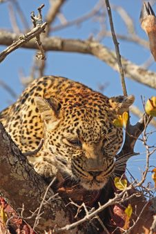 Free Leopard In A Tree With Kill Royalty Free Stock Photo - 5806115
