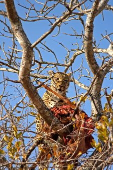 Free Leopard In A Tree With Kill Stock Photo - 5806190