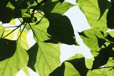 Free Green Leaves Royalty Free Stock Photo - 5806225