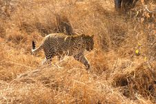 Free Leopard In The Sabi Sands Royalty Free Stock Image - 5806226