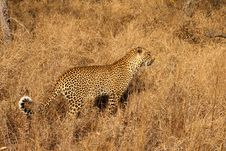 Free Leopard In The Sabi Sands Royalty Free Stock Photos - 5806318