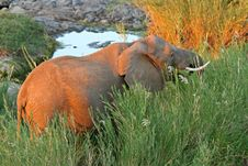 Free African Elephant Feeding On Reeds Stock Photo - 5806540