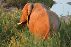 Free African Elephant Feeding In River Bed Stock Images - 5806574