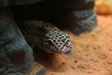 Free Gecko Stock Photos - 5806733