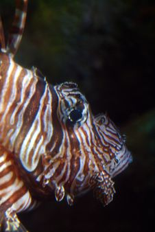 Free Lion Fish Royalty Free Stock Image - 5806776