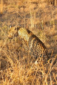 Free Leopard In The Sabi Sands Stock Photography - 5806782
