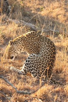 Free Leopard In The Sabi Sands Stock Photography - 5806882