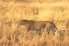 Free Leopard In The Sabi Sands Royalty Free Stock Image - 5807056