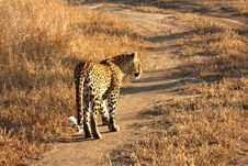 Free Leopard In The Sabi Sands Royalty Free Stock Photography - 5807217