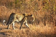 Free Leopard In The Sabi Sands Royalty Free Stock Image - 5807226