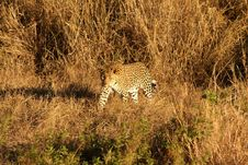 Free Leopard In The Sabi Sands Stock Photography - 5807292