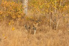 Free Leopard In The Sabi Sands Stock Image - 5807551