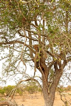 Free Leopard In A Tree With Kill Stock Photo - 5807810