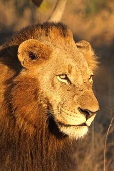 Free Lion In Sabi Sands Royalty Free Stock Photo - 5807825