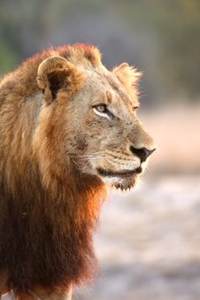 Free Lion In Sabi Sands Royalty Free Stock Image - 5807846