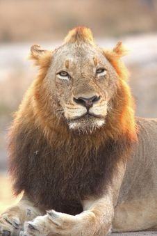 Free Lion In Sabi Sands Royalty Free Stock Photography - 5807907