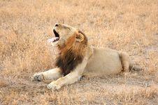 Free Lion In Sabi Sands Stock Image - 5808001
