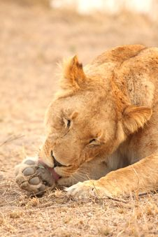 Free Lioness In Sabi Sands Royalty Free Stock Images - 5808039