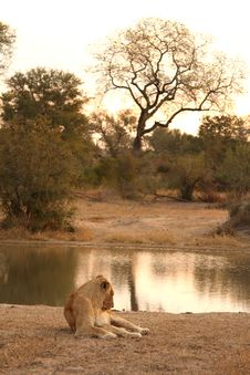 Free Lioness In Sabi Sands Stock Photos - 5808153