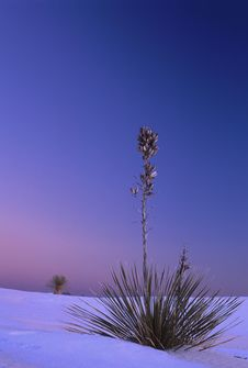 Free Yucca In Winter Sunset Royalty Free Stock Photography - 5808177