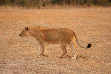 Free Lioness In Sabi Sands Stock Photo - 5808260