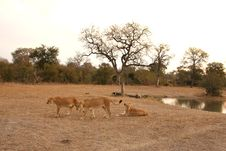 Free Lioness In Sabi Sands Stock Photography - 5808382